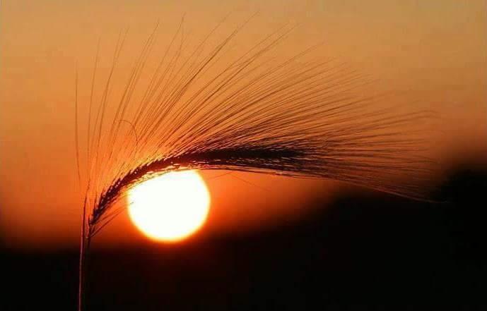 trigo con sol
